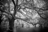 """Live Oaks #2 in Digital Infrared"""